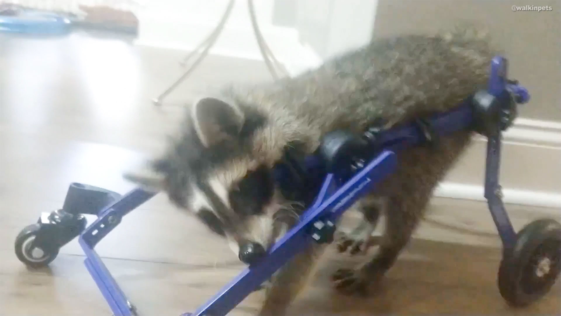 Baby Raccoon Takes First Steps Thanks to Custom Wheelchair