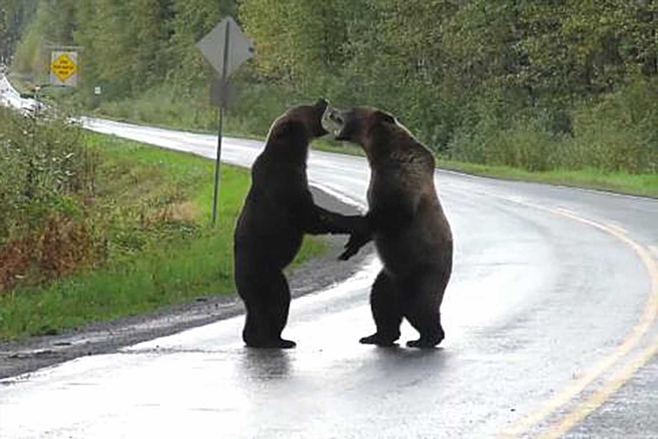 Two Bears Brawl in the Middle of a Highway as a Wolf Watches Quietly from a Distance