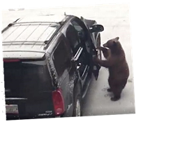 What To Do When A Bear Gets Behind The Wheel Of Your SUV