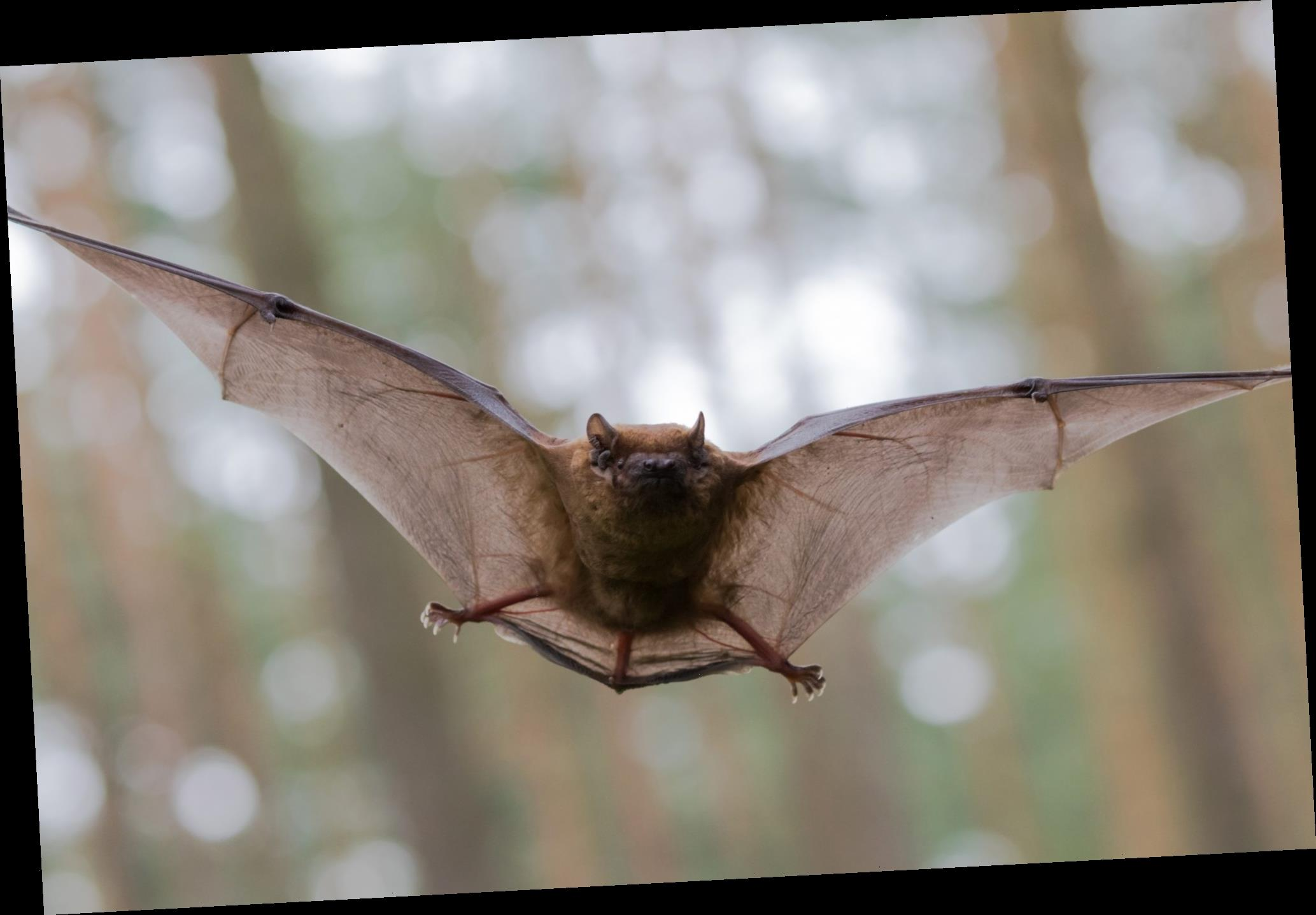 Bats offer COVID-19 treatment clues, scientists say