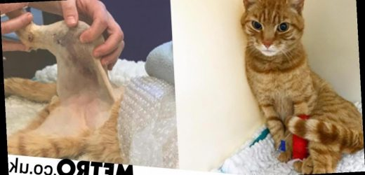 Adorable ginger cat who has leg amputated after accident makes a full recovery