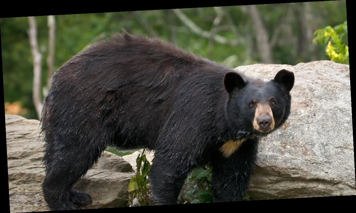 Bear Eats Human Remains in Great Smoky Mountains National Park