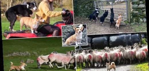 One woman and her corg! Meet Britain's most unlikely sheepdog