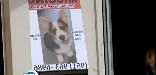 Animal Rescue Makes Desperate Public Appeal After Woman Steals Corgi Puppy
