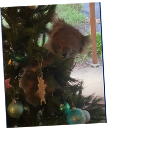 Australian Family Discovers Koala Perched Inside The Christmas Tree