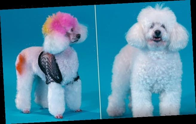 Not so Pooch Perfect! BBC show condemned after poodles' fur is dyed