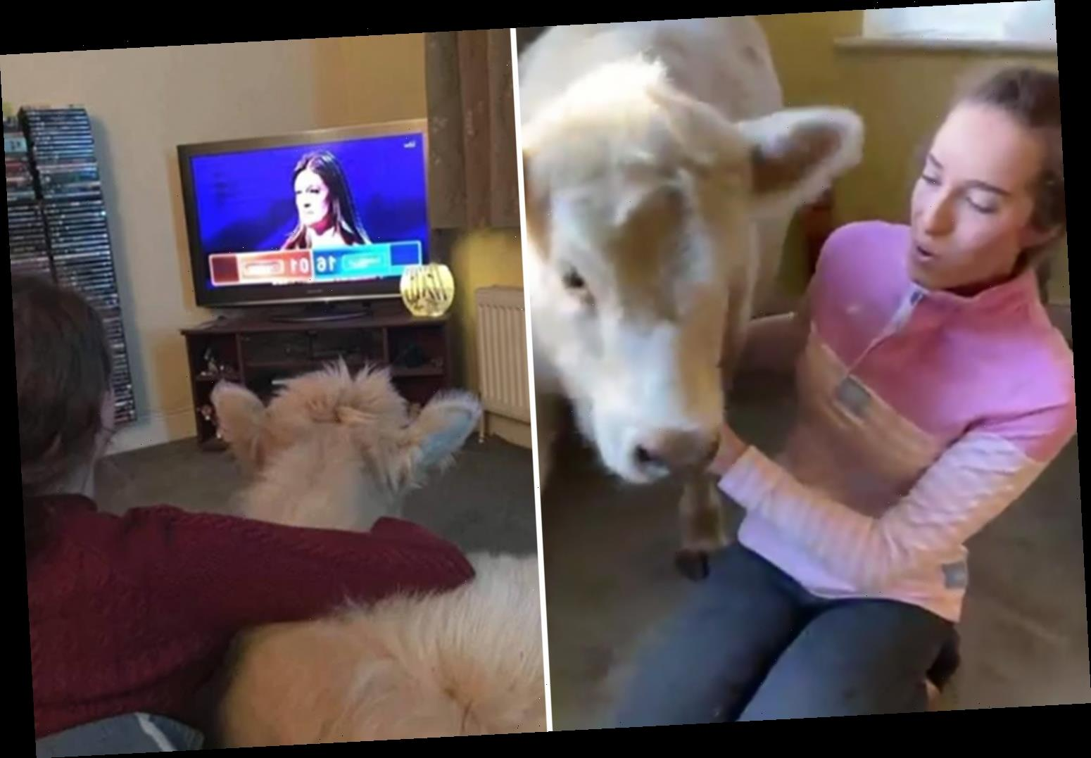 This Morning fans in hysterics at interview with viewer's pet cow who 'loves watching The Chase but hates Loose Women'