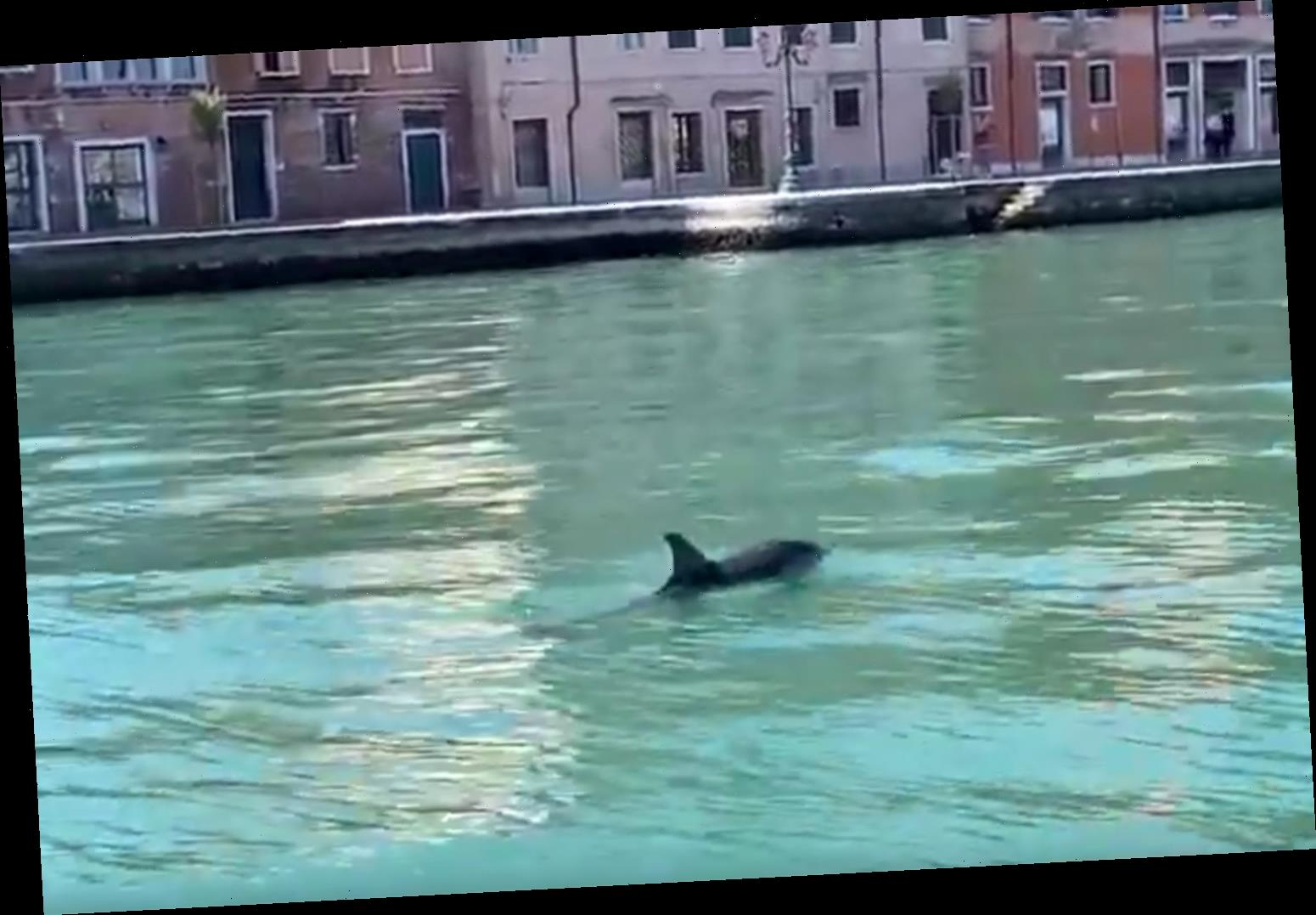 Dolphins Spotted Swimming in Venice's Grand Canal: A 'Beautiful and Rare Moment'