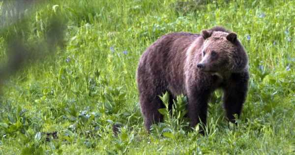Grizzly bear attacks and kills bicyclist camping in Montana