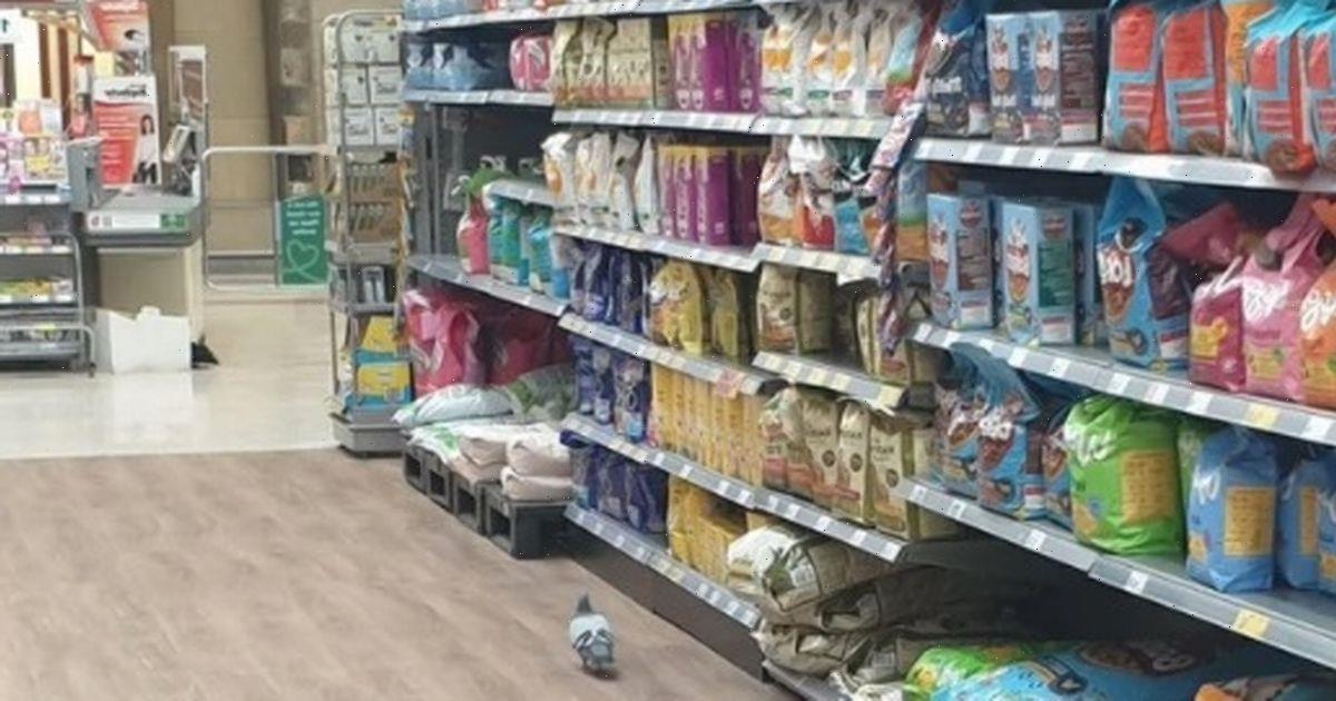 Morrisons shopper captures amusing moment pigeon wanders around pet food aisle