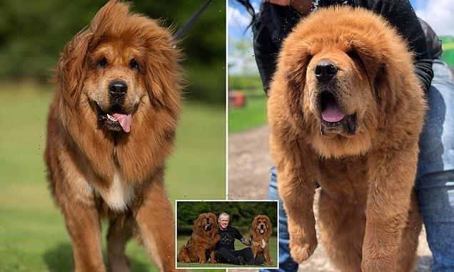 Adorable Tibetan Mastiff pups weigh 11st each